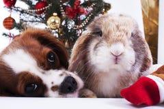 Το σκυλί Χριστουγέννων γιορτάζει τα Χριστούγεννα με το δέντρο στο στούντιο Το μπιχλιμπίδι Χριστουγέννων διακοσμεί τις σφαίρες και στοκ εικόνα με δικαίωμα ελεύθερης χρήσης