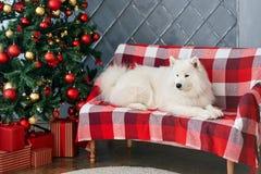 Το σκυλί Χριστουγέννων στο στούντιο Στοκ εικόνα με δικαίωμα ελεύθερης χρήσης