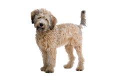 το σκυλί διασταύρωσης α&n Στοκ Φωτογραφίες