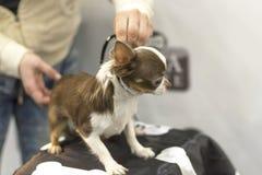 Το σκυλί Chihuahua ένα σκυλί συντρόφων, θεωρείται μικρότερο σκυλί Στοκ Φωτογραφίες