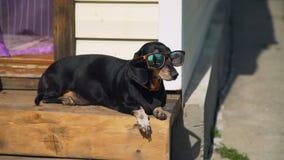 Το σκυλί Dachshund στα γυαλιά ηλίου κάνει ηλιοθεραπεία φιλμ μικρού μήκους