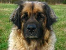 το σκυλί leonberger χάνει επάνω Στοκ φωτογραφία με δικαίωμα ελεύθερης χρήσης