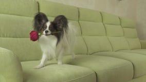 Το σκυλί Papillon φέρνει κόκκινο αυξήθηκε στο στόμα του ερωτευμένο στο σε αργή κίνηση βίντεο μήκους σε πόδηα αποθεμάτων ημέρας βα απόθεμα βίντεο