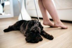 Το σκυλί risesenauzer βρίσκεται στο πάτωμα Θηλυκά πόδια στο υπόβαθρο Στοκ Φωτογραφία