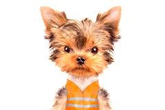 Το σκυλί έντυσε ως οικοδόμος Στοκ Εικόνα