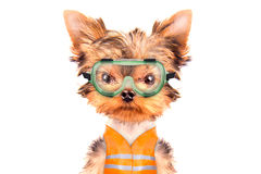 Το σκυλί έντυσε ως οικοδόμος Στοκ εικόνες με δικαίωμα ελεύθερης χρήσης