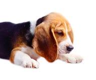 το σκυλί λαγωνικών ανασ&kap Στοκ φωτογραφίες με δικαίωμα ελεύθερης χρήσης