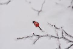 Το σκυλί αυξήθηκε καλυμμένος με το χιόνι και τον παγετό Στοκ φωτογραφία με δικαίωμα ελεύθερης χρήσης