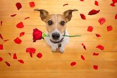 Το σκυλί βαλεντίνων ερωτευμένο με αυξήθηκε στο στόμα στοκ φωτογραφία με δικαίωμα ελεύθερης χρήσης