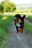 Το σκυλί βουνών Bernese φέρνει τα λουλούδια στα δόντια του στοκ εικόνα με δικαίωμα ελεύθερης χρήσης
