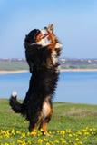 Το σκυλί εκπαίδευσε να εκτελέσει τα τεχνάσματα στοκ εικόνες