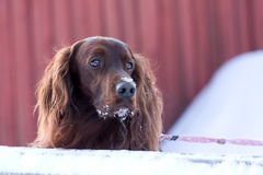 Το σκυλί εξετάζει κάτι Στοκ Εικόνες