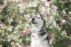 Το σκυλί κάθεται με τη Apple Στοκ εικόνα με δικαίωμα ελεύθερης χρήσης