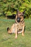 Το σκυλί κάθεται στη χλόη Στοκ Εικόνες