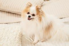 Το σκυλί κάθεται στο κρεβάτι Στοκ Εικόνα