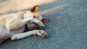 Το σκυλί κοιμάται στο υπόβαθρο τσιμέντου, το σκυλί είναι ντροπαλό Στοκ Εικόνα