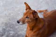 Το σκυλί κοιτάζει από το σπίτι στοκ φωτογραφία με δικαίωμα ελεύθερης χρήσης
