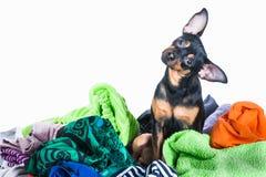 Το σκυλί, κουτάβι, τεριέ παιχνιδιών έκανε να βρωμίσει των ενδυμάτων Σε μια άσπρη ανασκόπηση Στοκ Εικόνες