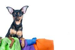 Το σκυλί, κουτάβι, τεριέ παιχνιδιών έκανε να βρωμίσει των ενδυμάτων Σε μια άσπρη ανασκόπηση Στοκ εικόνα με δικαίωμα ελεύθερης χρήσης