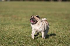 Το σκυλί μαλαγμένου πηλού τρέχει πρόσωπο ευτυχές στόμα ανοικτό Γλώσσα έξω στοκ εικόνες