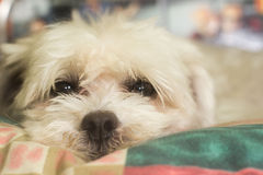 Το σκυλί με μυστήριος/λυπημένος κοιτάζει Στοκ Εικόνες