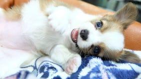 Το σκυλί μου, chihuahua Στοκ Εικόνες