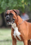 Το σκυλί μπόξερ Στοκ φωτογραφία με δικαίωμα ελεύθερης χρήσης
