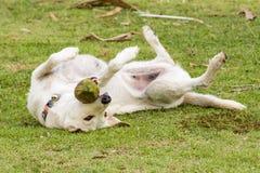 Το σκυλί παίζει με την καρύδα ότι είναι διασκέδαση Στοκ Φωτογραφία