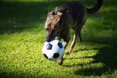 Το σκυλί παίζει με το ποδόσφαιρο Στοκ φωτογραφίες με δικαίωμα ελεύθερης χρήσης