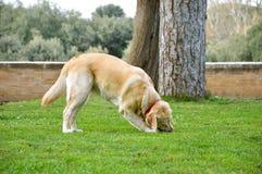Το σκυλί παίζει στη χλόη Στοκ εικόνα με δικαίωμα ελεύθερης χρήσης