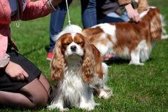 Το σκυλί παρουσιάζει Στοκ Εικόνες