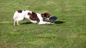 Το σκυλί πιάνει έναν δίσκο Στοκ Εικόνες