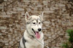 Το σκυλί που κοιτάζει στην πλευρά Στοκ φωτογραφία με δικαίωμα ελεύθερης χρήσης