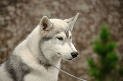 Το σκυλί που κοιτάζει στην πλευρά Στοκ Εικόνες