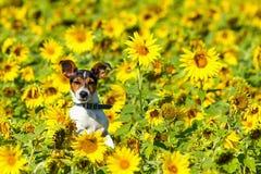 Το σκυλί που πηδά στα λιβάδια ηλίανθων Στοκ εικόνα με δικαίωμα ελεύθερης χρήσης