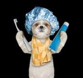 Το σκυλί πρόκειται να καθαρίσει τα δόντια μετά από το ντους στοκ φωτογραφία με δικαίωμα ελεύθερης χρήσης