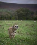 Το σκυλί ρουθουνίζει τον αέρα Στοκ Φωτογραφίες