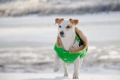 Το σκυλί στέκεται σε ένα πράσινο παλτό το χειμώνα Στοκ εικόνες με δικαίωμα ελεύθερης χρήσης