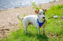 Το σκυλί στην παραλία Στοκ εικόνα με δικαίωμα ελεύθερης χρήσης