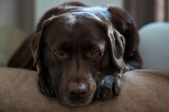 Το σκυλί στηρίζεται στο μαξιλάρι του Στοκ φωτογραφία με δικαίωμα ελεύθερης χρήσης