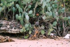 Το σκυλί στον κάκτο Στοκ φωτογραφίες με δικαίωμα ελεύθερης χρήσης