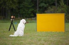 Το σκυλί του Λαμπραντόρ παίρνει έτοιμο για το άλμα Στοκ Εικόνες