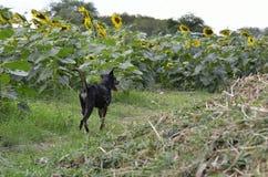 Το σκυλί τρέχει στο αγρόκτημα ηλίανθων Στοκ Φωτογραφίες
