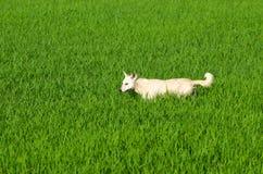 Το σκυλί τρέχει τους πράσινους τομείς ρυζιού Στοκ Φωτογραφία