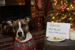 Το σκυλί τρώει τα μπισκότα Santas στοκ φωτογραφία