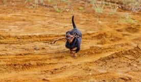 Το σκυλί φέρνει ένα ραβδί στοκ φωτογραφίες