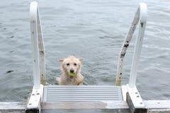 Το σκυλί φέρνει τη σφαίρα πίσω στην αποβάθρα Στοκ Εικόνες