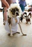 Το σκυλί φορά το κοστούμι της Μέριλιν Μονρόε στο διαγωνισμό στοκ εικόνες