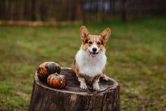 Το σκυλί Corgi στο κολόβωμα Στοκ Φωτογραφία