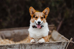 Το σκυλί Corgi Στοκ φωτογραφία με δικαίωμα ελεύθερης χρήσης